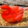 kanarienvogelismus